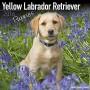 Yellow-Labrador-Retriever-Puppies-Calendar-Only-Dog-Breed-Yellow-Labrador-Retriever-Puppies-Calendar-2016-Wall-calendars-Dog-Calendars-Monthly-Wall-Calendar-by-Avonside-0