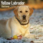 Labrador-Retriever-Yellow-Calendar-Only-Dog-Breed-Labrador-Retriever-Yellow-Calendar-2016-Wall-calendars-Dog-Calendars-Monthly-Wall-Calendar-by-Avonside-0