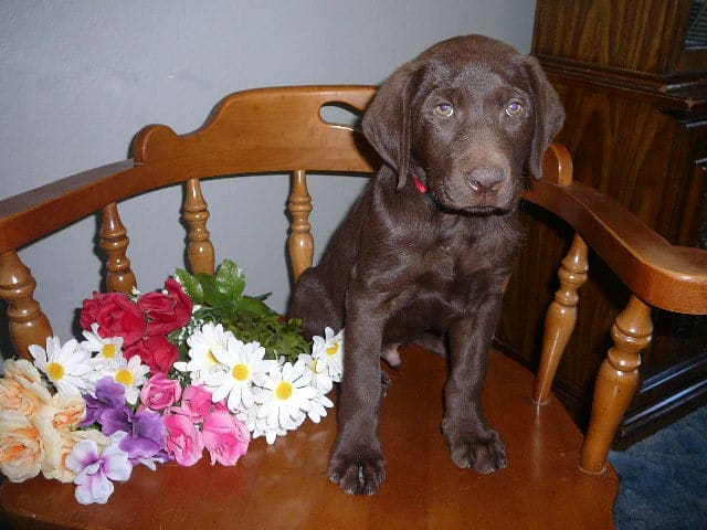 Adorable Chocolate Lab Male Pup