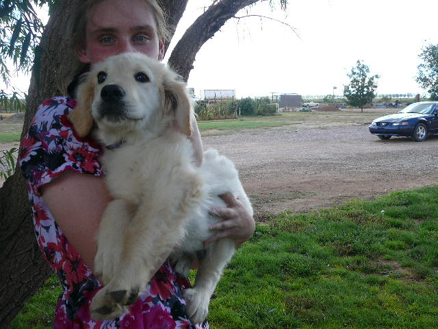 Cream Colored Golden Retriever Pup Born July 5 ...