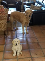 Chance and Kodi-Both Goldens from Chiricahua Retrievers