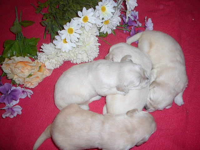 Golden Retriever Pups Ready For Christmas Born Nov 4 Same Day As My